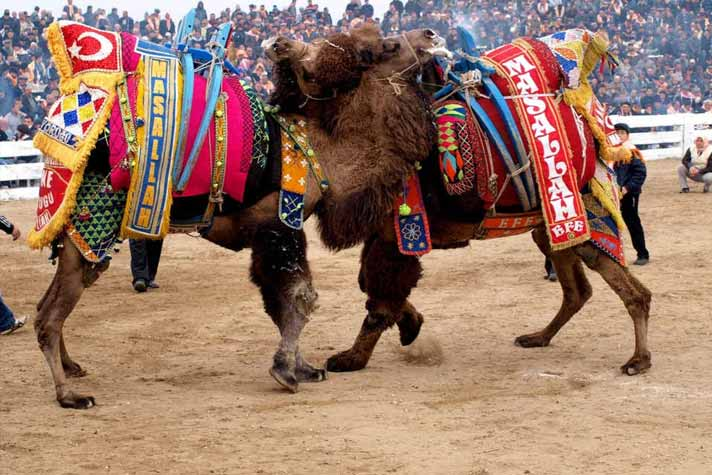 Have you heard of Camel Wrestling, check how popular it is in Turkey !
